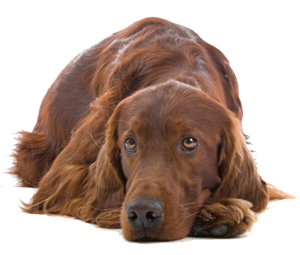 Irish Setter lying down