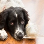 pain control in pets