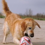 Dogs with Primary Epilepsy will be completely normal between bouts