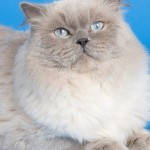 Feline Hypertrophic Cardiomyopathy (HCM) is probably inherited in certain breeds such as the Maine Coon and Ragdoll.