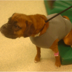 dog wearing halter monitor