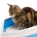 Frequent visits to the litter tray may indicate a 'blockage' and your cat is unable to pee