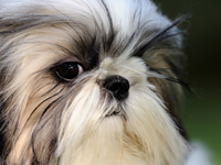 Shih tzus are one of a number of brachycephalic breeds