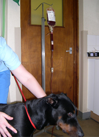 A Doberman with IMHA receiving a blood transfusion