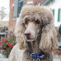 Standard Poodle: one of a number of breeds predisposed to Addison's disease