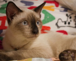 Figure 1: Asthma can be more common in Siamese and Oriental breeds
