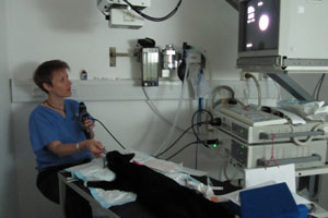 Figure 3: Endoscopy of the airways can be performed under general anaesthetic. This can help your veterinary surgeon to assess the structure and function of the larynx, or voicebox ('laryngoscopy), the trachea, or windpipe ('tracheoscopy), and the smaller airways leading to the lungs ('bronchoscopy).  This will also allow your vet to collect airway samples which can be evaluated for signs of parasites, infection, or cancer.