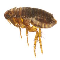 Fleas can also act as carriers or 'vectors' for tapeworms
