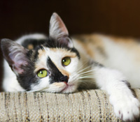 Your vet will need to determine whether your cat is vomiting or regurgitating