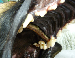 This photograph shows a stick lodged in a dog's mouth across the hard palate