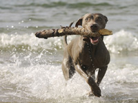 If a dog runs onto a stick, sections of the stick could penetrate deeper into the mouth, neck or throat