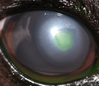 Fig 3: This is the same dog with an eye scratch injury as in Fig 1. The loose tissue flap has been removed and the healing of the wound is progressing well (the green area is a dye which has actually been put into the eye during the examination).