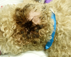 Fig 2: This dog has severe ear disease and requires ear surgery