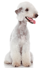Some breeds of dog, such as Bedlington terriers, are predisposed to specific liver diseases