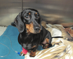 A dachshund on the day following spinal surgery