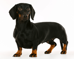 Chondrodystrophoid breeds like dachshunds have short legs and a relatively long back