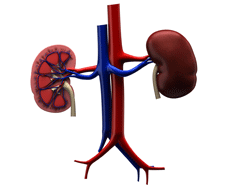 The kidneys perform a number of functions in the body
