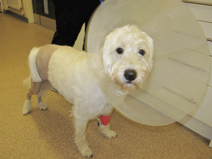 Fig 3: 1 year old dog the day after total hip replacement.  Notice the fur from the leg has been clipped to allow the surgery to be performed.  A dressing is in place to protect the wound and an Elizabethan collar is worn to stop the patient licking the wound.  The dog is starting to weight bear on the leg at this early stage.