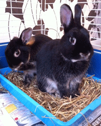 It is a good idea to litter tray train your pet rabbits