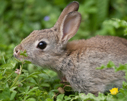 Wild rabbits spend most of their waking time foraging. It's a good idea to split up the daily food ration for your pet rabbit to increase the amount of times you offer food