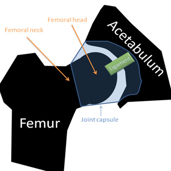 Fig 1: Representation of the association between the femoral head and acetabulum