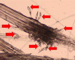 Fig 2: Demodex mites (indicated by arrows) surrounding hairs plucked from a dog,viewed under a microscope