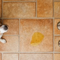 urinary incontinence in female dogs