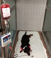Sick dog receiving a blood transfusion.