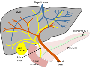 Fig 1: Diagram of the liver, biliary and pancreatic anatomy