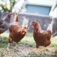 Mycoplasma infection can impact on both commercial flocks and backyard pets
